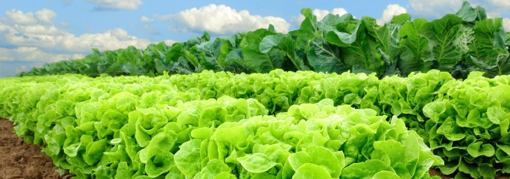 lettuce-category.jpg