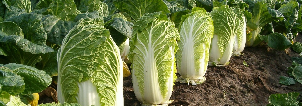 michihili-cabbage-category.jpg